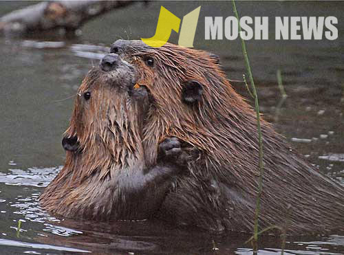 Beavers kissing